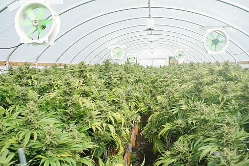 835508564 istock photo Commercial Marijuana Recreational Grow Operation Greenhouse Washington State 631931322