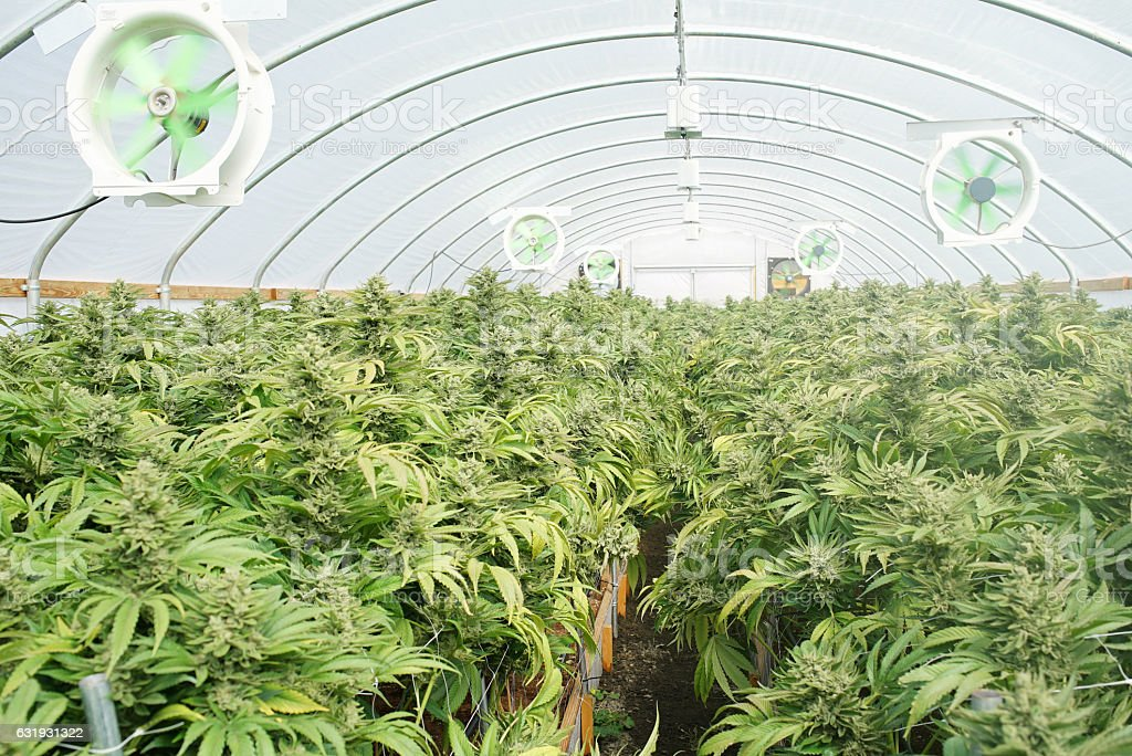 Commercial Marijuana Recreational Grow Operation Greenhouse Washington State stock photo