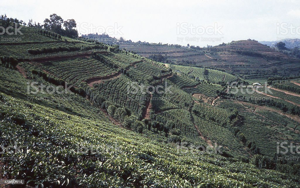 Commercial Tea Plantations near Gishwati National Park Rubavu Gisenyi Rwanda stock photo