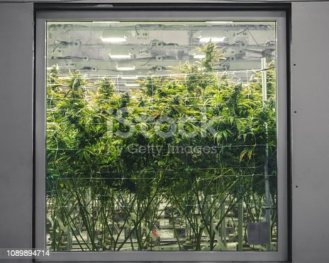 Cannabis background looking through glass at tall green plants