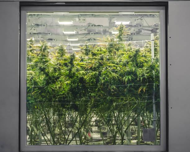 Commercial Warehouse for Marijuana Industry Grow Room Window stock photo