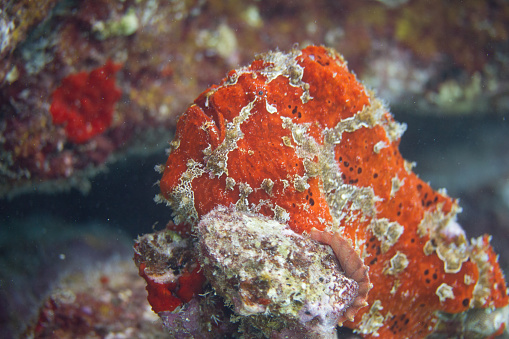 istock Commerson's Frogfish on Coral Reef 1086418642