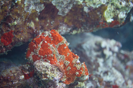 istock Commerson's Frogfish on Coral Reef 1086429960
