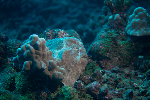 istock Commerson's Frogfish 1078805582