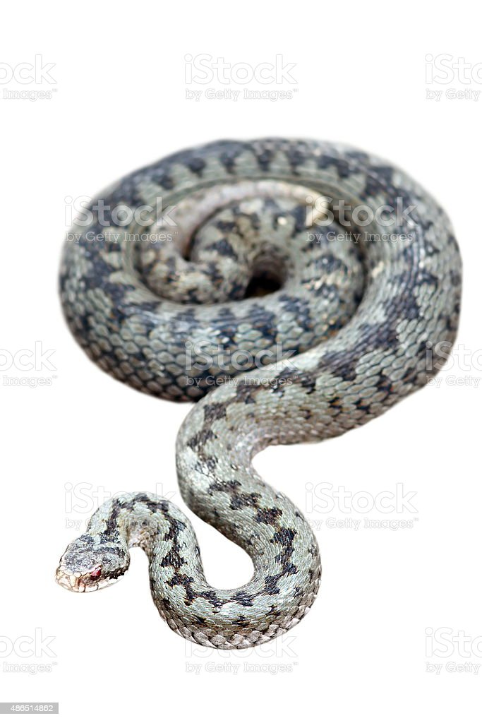 common adder isolated on white stock photo