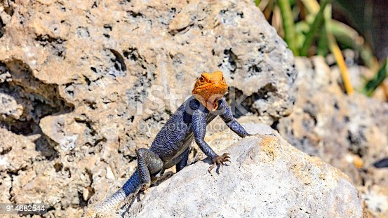 Common Agama, Agama agama, mature male, is looking to you from the top of a stone, Florida, USA