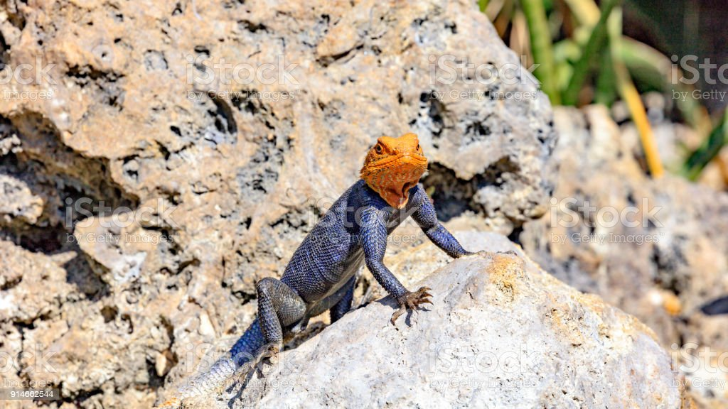 Common Agama, Agama agama, mature male, is looking to you stock photo