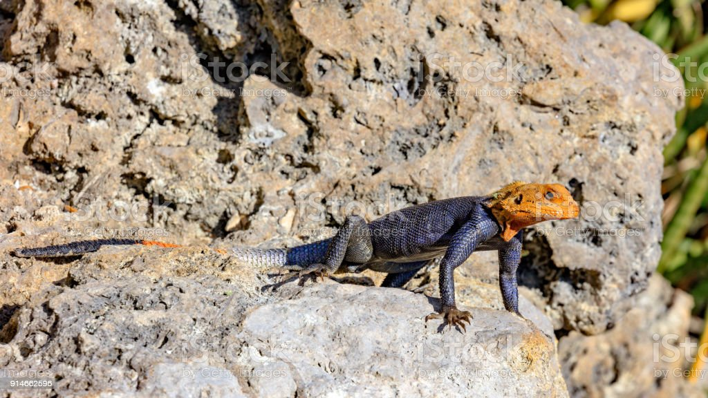 Common Agama, Agama agama, mature male, is watching his environment stock photo