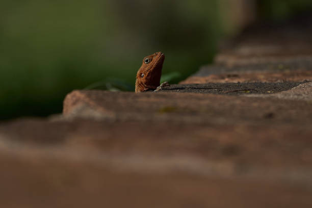 Common agama red headed rock agama or rainbow agama a lizard family picture id1251669228?b=1&k=6&m=1251669228&s=612x612&w=0&h=hx9xlurposwu9ou8c4f0fchlz e5y1wj3kywh9r3hgy=