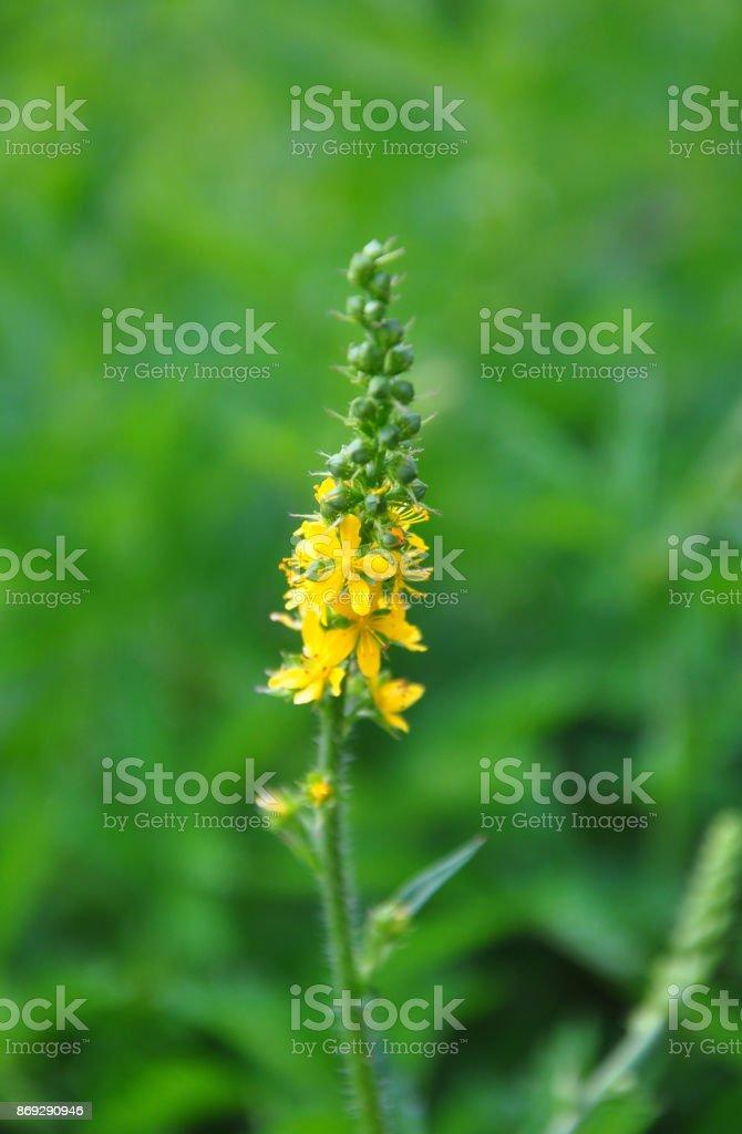 Common agrimony (Agrimonia eupatoria) stock photo