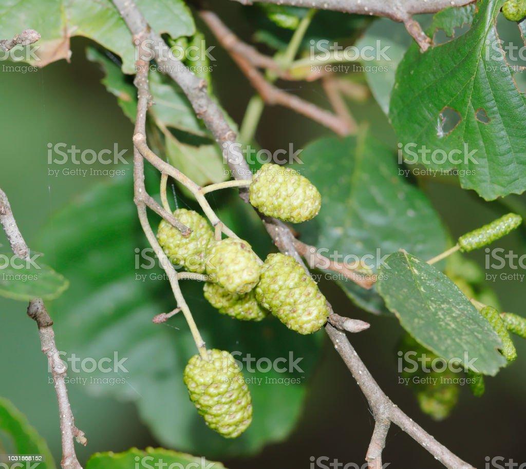 Gemeenschappelijke katjes van Elzen (A. glutinosa) foto