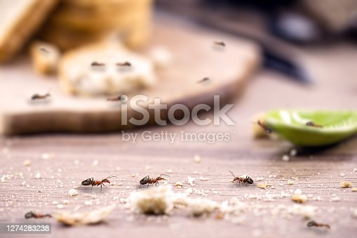 little red ant eating and carrying leftover breadcrumbs on the kitchen table. Concept of poor hygiene or homemade pest