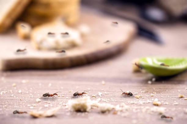 common ant on the kitchen table, close to food, need for pest control little red ant eating and carrying leftover breadcrumbs on the kitchen table. Concept of poor hygiene or homemade pest ant stock pictures, royalty-free photos & images