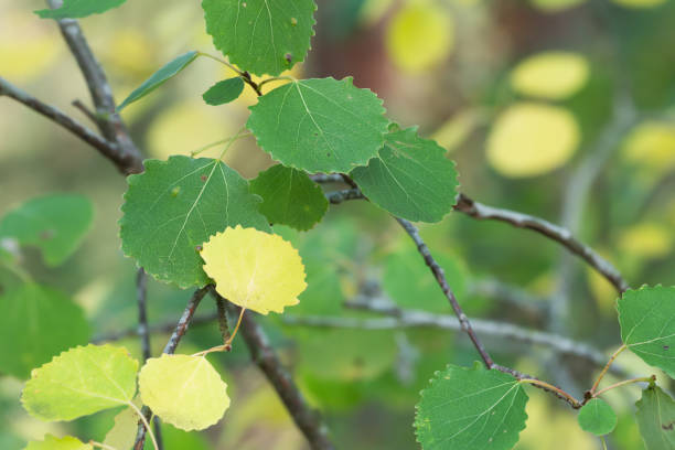 common aspen, populus tremula leafs on twig in autumn - deciduous stock pictures, royalty-free photos & images