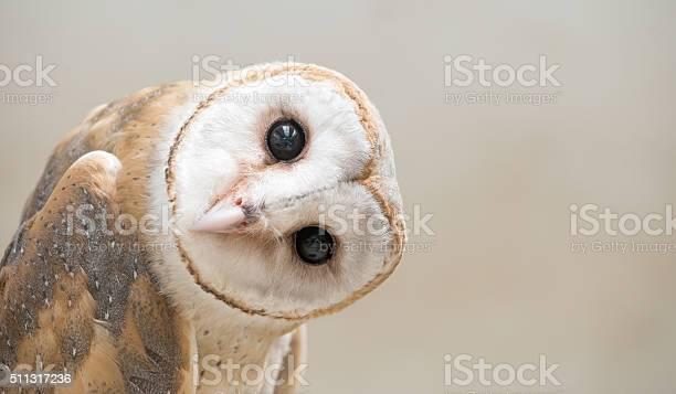 Common barn owl close up picture id511317236?b=1&k=6&m=511317236&s=612x612&h=bn25w2pa0lrgq4p1h1lkkxfnep0dyhxmi exvsnjqey=