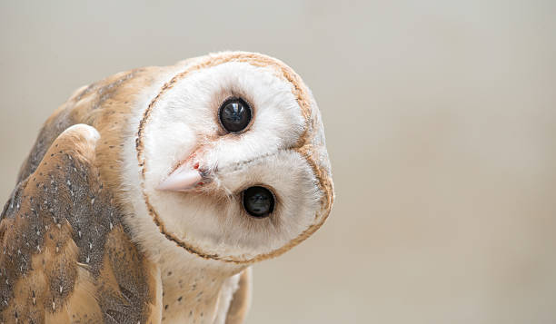 common barn owl ( tyto albahead ) close up - owl stock photos and pictures