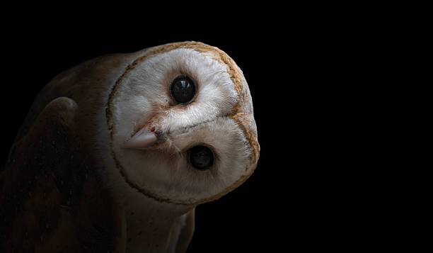 Common barn owl close up picture id513642294?b=1&k=6&m=513642294&s=612x612&w=0&h=9tuq ytayzone93h8tm6wbonuywa0k7pwwhbonqsaqo=
