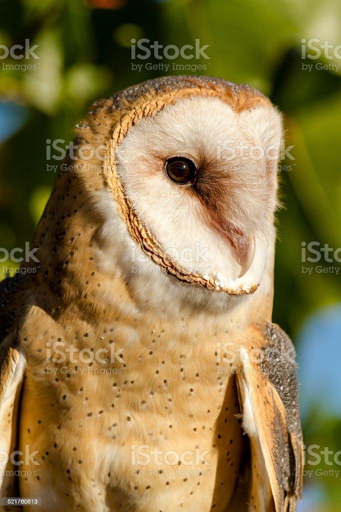 Common Barn Owl in Autumn Setting stock photo
