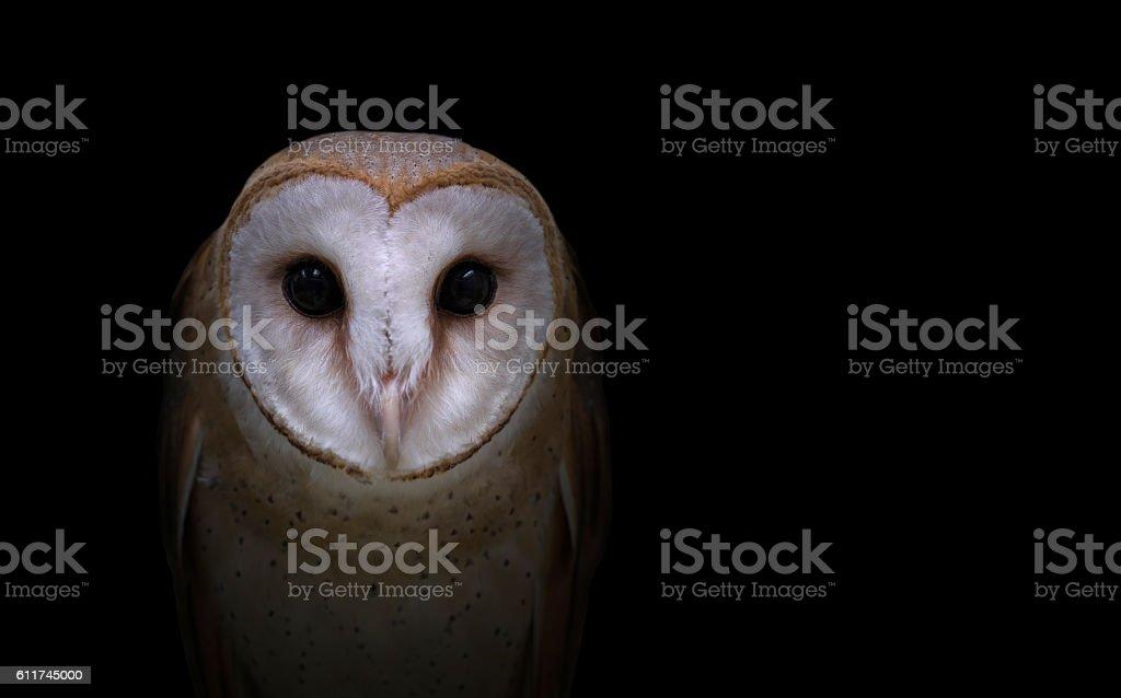common barn owl in the dark stock photo