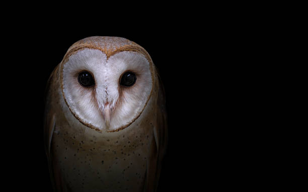 common barn owl in the dark - owl stock photos and pictures