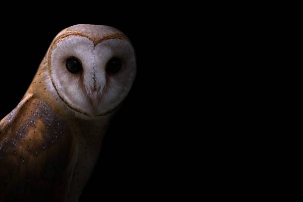 Common barn owl in the dark picture id611745102?b=1&k=6&m=611745102&s=612x612&w=0&h=6aivqsugzcqbwx3qdar7w68ycq8g3jnop gdfi0ebj8=