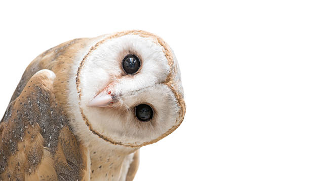 """common barn owl ( Tyto albahead ) isolated common barn owl ( Tyto albahead ) head isolated on white background wildlife or """"wild animal"""" stock pictures, royalty-free photos & images"""