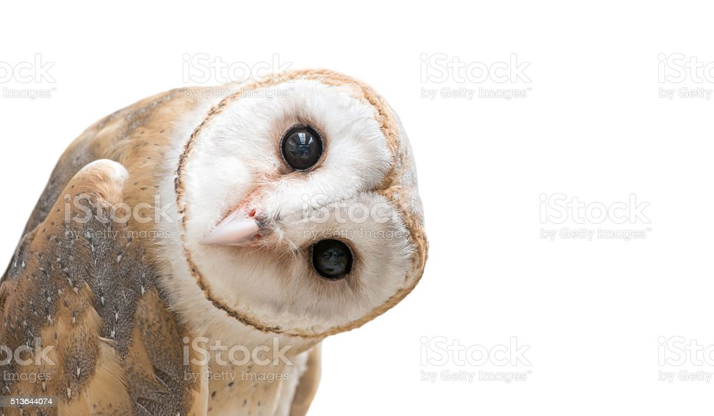 common barn owl ( Tyto albahead ) isolated stock photo
