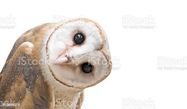 Photo of common barn owl ( Tyto albahead ) isolated