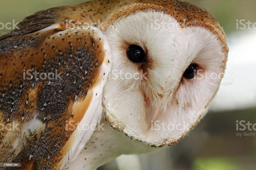 Common Barn Owl stock photo