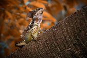 Common basilisk - Basiliscus basiliscus lizard in Corytophanidae, endemic to Central and South America, also known as the Jesus Christ lizard, South American Jesus lizard or lagarto de Jesus Cristo.