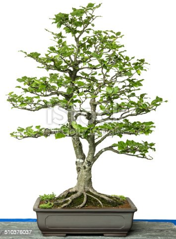 Common beech (Fagus sylvatica) as bonsai tree