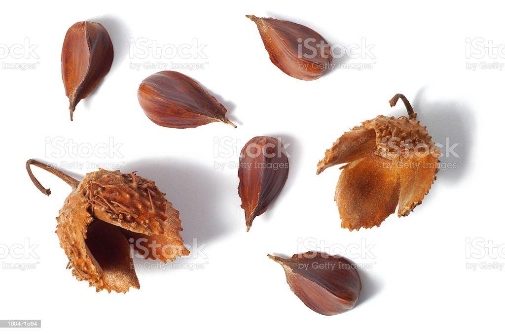 Common Beech Nuts royalty-free stock photo