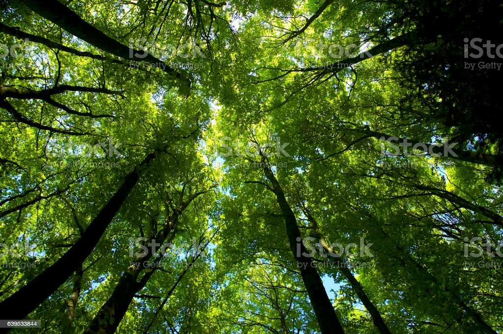 Common beech tree forest canopy (Fagus sylvatica), in late spring stock photo