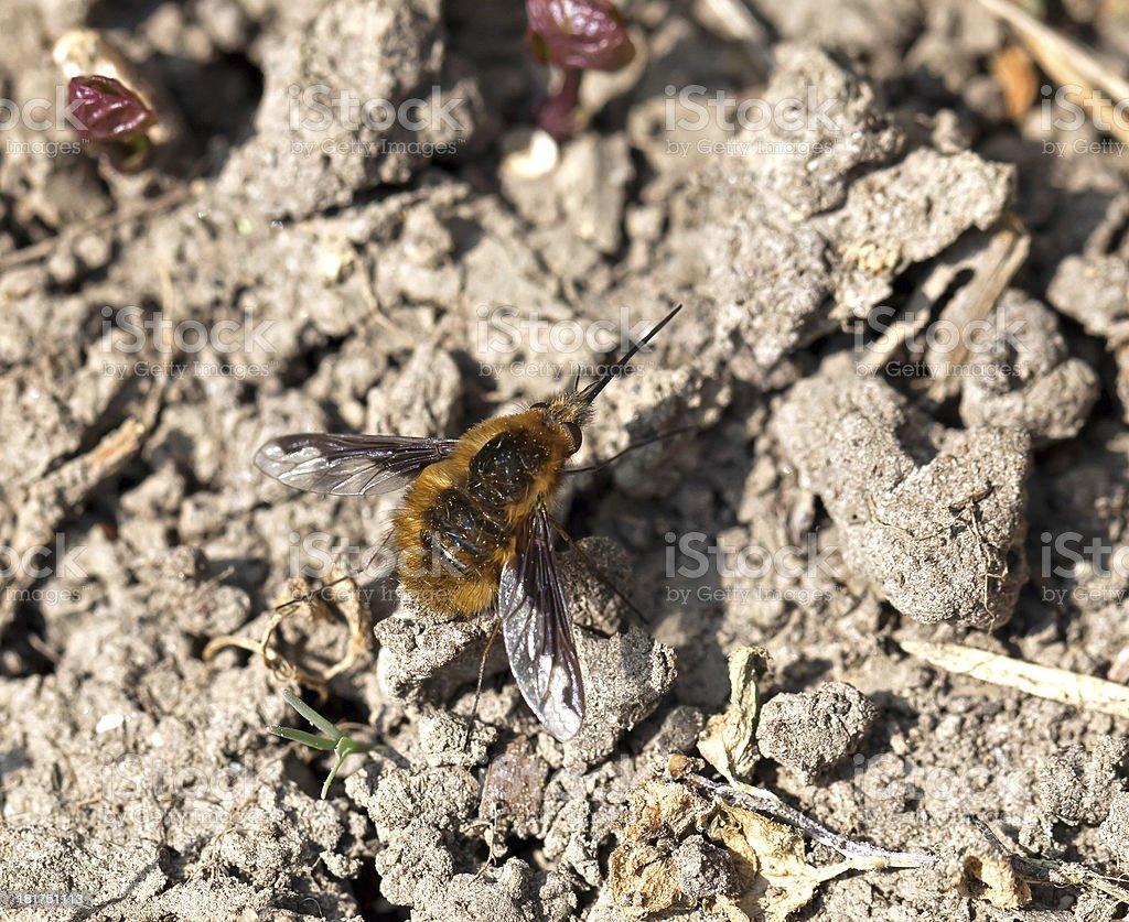 Common Bee-fly royalty-free stock photo