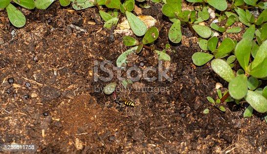 European Beewolf wasp (Philanthus triangulum) digging a burrow