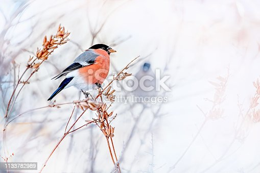 Common bird Bullfinch Pyrrhula with red breast sitting on snow maple branch. Festive male bullfinch Christmas greeting background. Closeup horizontal colorful image with copy space, place for text