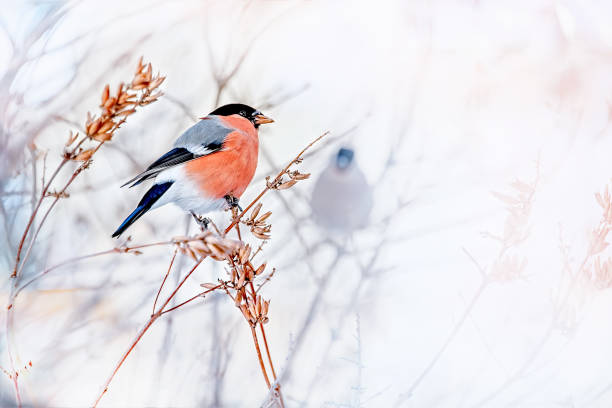 Common bird Bullfinch Pyrrhula with red breast sitting on snow maple branch. Common bird Bullfinch Pyrrhula with red breast sitting on snow maple branch. Festive male bullfinch Christmas greeting background. Closeup horizontal colorful image with copy space, place for text finch stock pictures, royalty-free photos & images