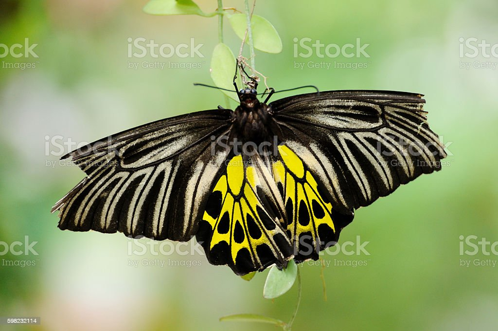 Common Birdwing with blur background foto royalty-free