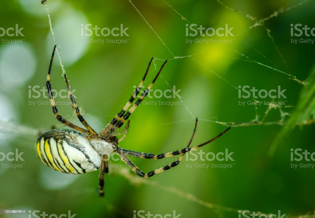 Comum preto e amarelo milho gordo ou aranha de jardim (Argiope aurantia) na sua teia, à espera de sua presa fechar foco seletivo - foto de acervo