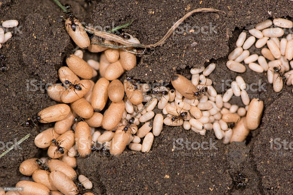 Common black ant (Lasius niger) pupae close up stock photo