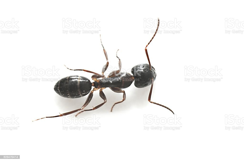 Common Black Garden Ant stock photo