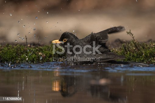 A common blackbird is taking a bath splashing in a pond in the sun