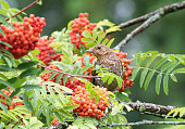 Common Blackbird, Merl, eating Rowan Berries. Nikon D850. 400mm 2.8. Converted from RAW