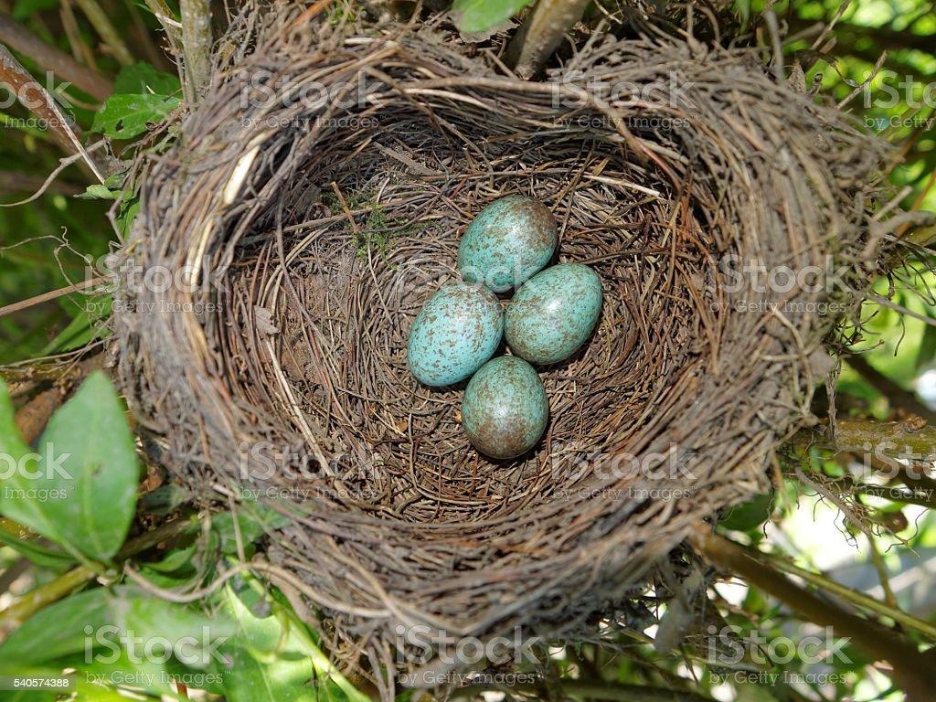 Common blackbird  (Turdus merula) nest with 4 eggs stock photo