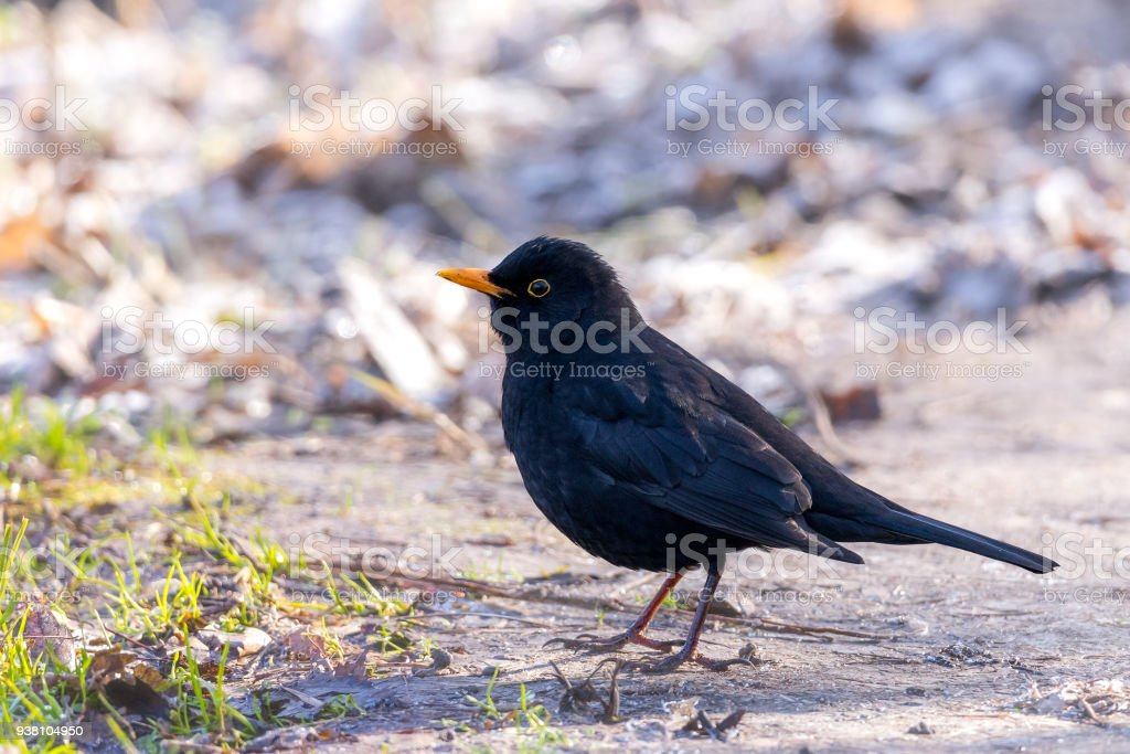 Common blackbird on a frosty spring morning search for prey. stock photo