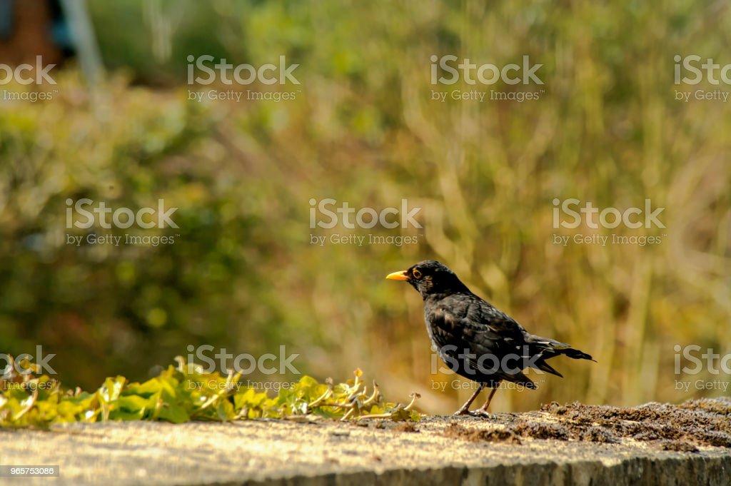 Common blackbird on the grass - natural scenery - Royalty-free Animal Stock Photo