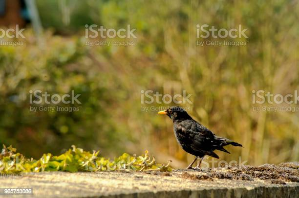 Common Blackbird On The Grass Natural Scenery Stock Photo - Download Image Now