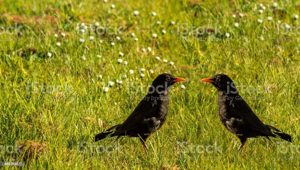 Merel op het gras - natuur - Royalty-free Bruin Stockfoto