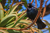 Common blackbird perched on an aloe flower stem in Monterey Californai
