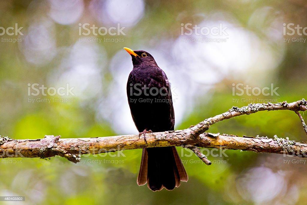 Common Blackbird stock photo